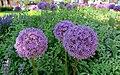 Allium (48048660763).jpg