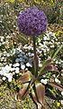 Allium giganteum 'Globemaster' (Amaryllidaceae)-1F.jpg
