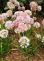 Allium nutans kz1.jpg