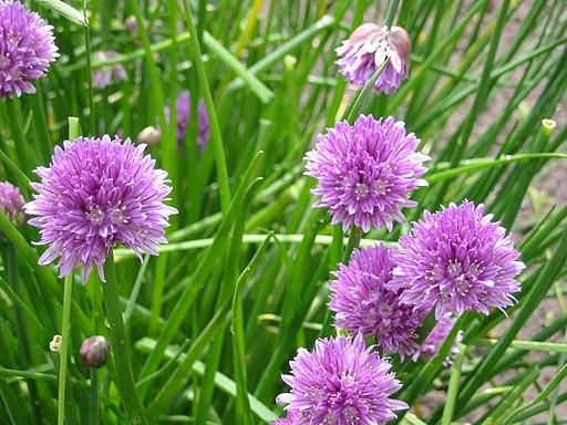 Allium schoenoprasum, flowers