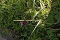Allium scorodoprasum (2).jpg