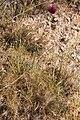 Allium sphaerocephalon-Ail à tête ronde-20150609.jpg