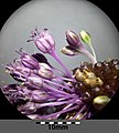 Allium vineale sl8.jpg