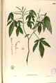 Allophyllus blancoi Blanco2.260-original.png