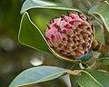 Almost a Magnolia Blossom (4955271025).jpg