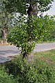 Alnus glutinosa water sprouts (01).jpg