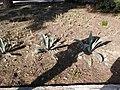 Aloe ferox (Tikanlı əzvay) .jpg
