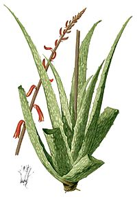 Aloe sp Blanco1.95-cropped.jpg