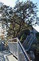 Alzina i passarel·la, el Castell de Guadalest.JPG