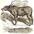 AmCyc Buffalo - Indian Buffalo.jpg