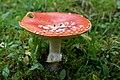 Amanita muscaria (30092462371).jpg