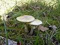 Amanita phalloides (1467453255).jpg