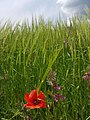 Amapola, natura silvestre.jpg