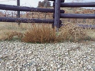 Tumbleweed - Amaranthus albus