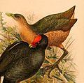 Amaurornis isabellina 1898.jpg