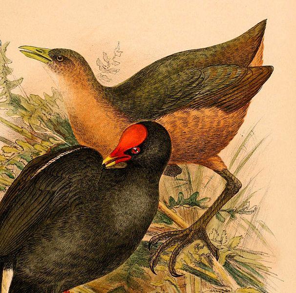 File:Amaurornis isabellina 1898.jpg