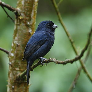 Amaurospiza moesta - Blackish-blue seedeater (male).JPG