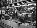 Ambiance Grande galerie du Musée d'histoire naturelle de Lille GLAM MHNL 2016 Lamiot a 14.JPG
