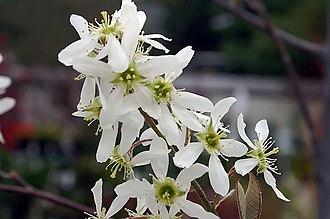 Amelanchier × grandiflora - Image: Amelanchier x grandiflora Autumn Brilliance 0zz