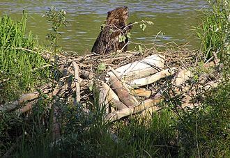 Rodent - Some rodents, like this North American beaver with its dam of gnawed tree trunks and the lake it has created, are considered ecosystem engineers.