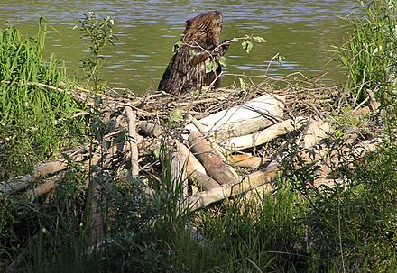 Some rodents, like this North American beaver with its dam of gnawed tree trunks and the lake it has created, are considered ecosystem engineers. American Beaver with dam.JPG