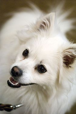 American Eskimo Dog portrait above.jpg