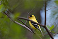 American Goldfinch (6973814398).jpg