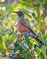 American Robin, Lake Los Carneros, Santa Barbara, California (50824899786).jpg