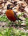 American Robin on Grass, and Old Leaves.jpg