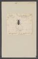 Ammophorus - Print - Iconographia Zoologica - Special Collections University of Amsterdam - UBAINV0274 027 19 0018.tif