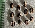 Ampelocissus martinii seeds, by Omar Hoftun.jpg