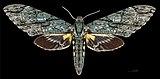 Amphonyx lucifer MHNT CUT 2010 0 67 Itatiaia National Park female dorsal.jpg