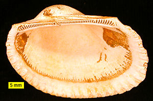 Bivalvia - Anadara, a bivalve with taxodont dentition from the Pliocene of Cyprus