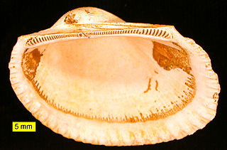 Arcida order of molluscs