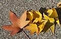Anadolu sığla ağacı - Liquidambar orientalis 5.jpg