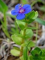 Anagallis arvensis f azurea0.jpg