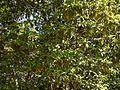 Analivenna (Malayalam- അണലിവേങ്ങ) (8283198515).jpg