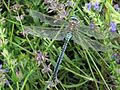 Anax imperator (Blue Emperor), Arnhem, the Netherlands.jpg
