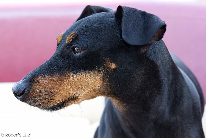 dog Manchester Terrier