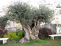 Ancient Olive Tree in the City of David.JPG