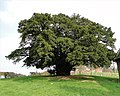 Ancient yew, Munsley - geograph.org.uk - 1803776.jpg