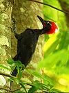 Andaman Woodpecker (Dryocopus hodgei) on a tree