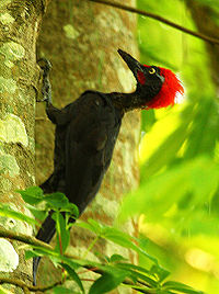 Andaman Woodpecker (Dryocopus hodgei) on a tree