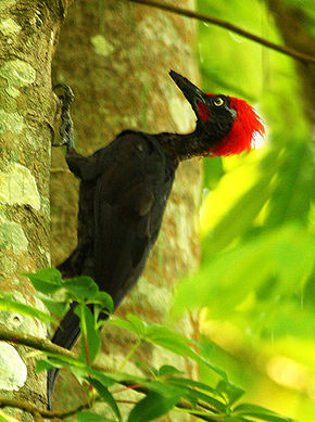 Andaman Woodpecker (Dryocopus hodgei) on a tree.jpg