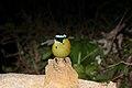 Andean Motmot (Momotus momota) (9499663014).jpg