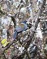 Andigena hipoglauca Terlaque andino Grey-breasted Mountain-Toucan (17007971079).jpg