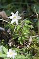 Anemone nemorosa koeur-la-grande 55 09042007 5.jpg