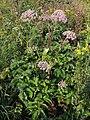 Angelica sylvestris ssp. montana PID1737-4.jpg