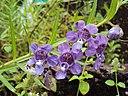Angelonia salicariifolia 06