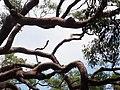 Angophora costata P1050167 (24642162377).jpg